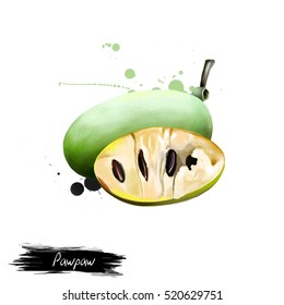 Pawpaw illustration isolated on white. The papaya papaw, or pawpaw plant Carica papaya, genus Carica of the family Caricaceae. Fruits of the world collection. Digital art. Tree-like plant