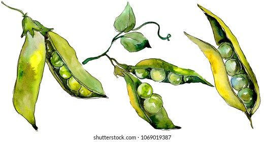Pea sed wild vegetables in a watercolor style isolated. Full name of the vegetables: Pea sed. Aquarelle wild vegetables for background, texture, wrapper pattern or menu.