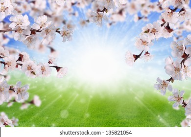 Peaceful spring background - blooming, blossoming apricot branch, pink flowers, green grass, bright sun, blue sky