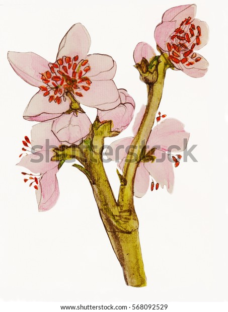 peach flower, watercolor painting