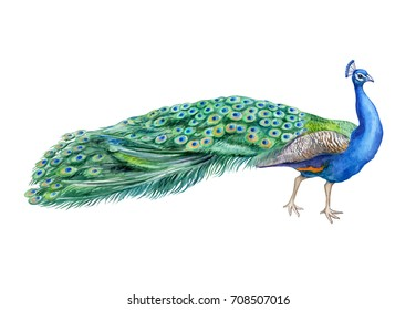 Peacock bird isolated on white background. Watercolor. Illustration. Clip-art. Handmade
