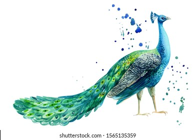 peacock bird and paint splashes on a white background, watercolor hand drawing
