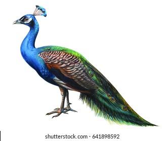 Peacock drawing realistic