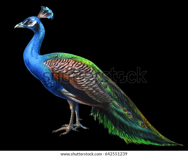 Peacock Drawing Realistic On Black Background Stock Illustration