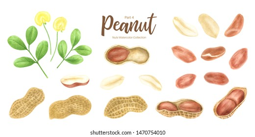 Peanut. Groundnut whole , halves, in shell and individual kernels isolated on white background set.Traditional and healthy peanut butter breakfast food. Watercolor illustration