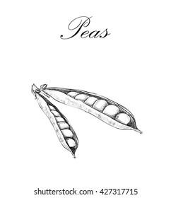 Peas sketch.  illustration peas