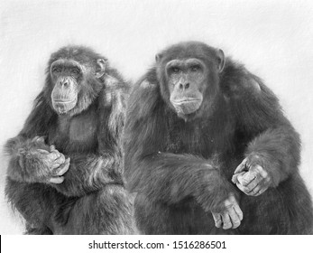 Pecil sketch portrait of a couple of Chimpanzees