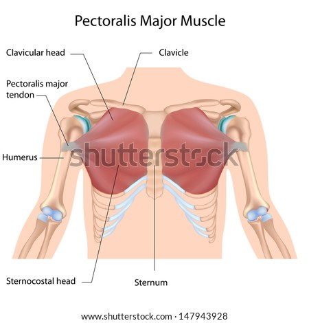 Pectoralis Major Muscle Labeled Stockillustration 147943928 ...