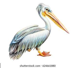 Pelican realistic drawing (Pelecanus rufescens)