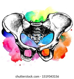 Pelvic bone anatomy, illustrated bony pelvis. Hand-drawn raster illustration for your medical or gothic design.