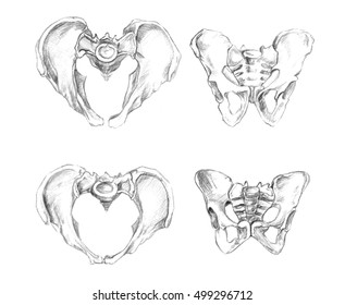 Pelvis 2 angels (male at the top and female at the bottom of drawing), Hand drawn medical illustration drawing with imitation of lithography