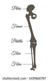 Pelvis and femur patella fibia tibia types poster having explanation of part human leg titles anatomical names isolated on raster illustration