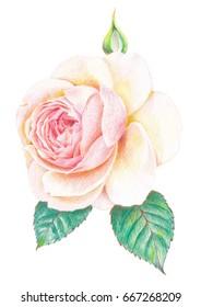 pencil color, pastel pink rose