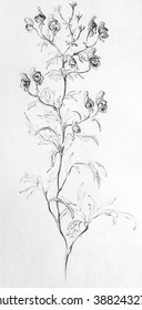 pencil drawing flower Cypripedium, professional vintage picture