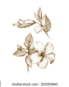 Pencil drawing of hibiscus flower