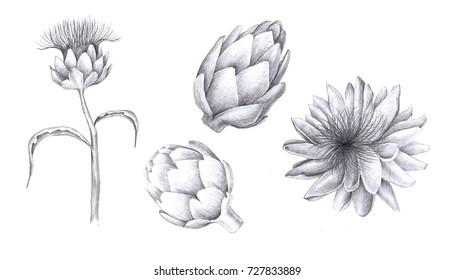 Pencil drawing illustration. Artichokes