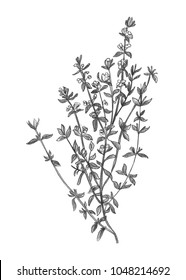 Pencil drawing of thyme  botanical leaf. Culinary herbs illustration