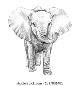 Pencil sketch. Baby elephant isolated on white background