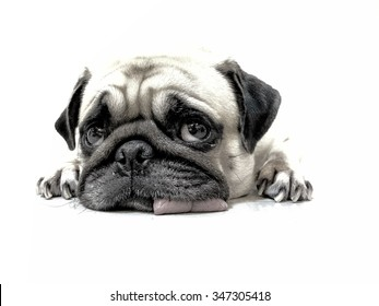 Pencil sketch of close-up face cute pug puppy dog sleeping by chin and tongue lay down on floor and look camera