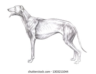 Pencil sketch, illustration of a greyhound, hound on a white background