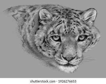 Pencil sketch - Isolated snow leopard head on grey background. Realistic monochrome detailed drawing of an animal.