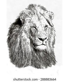 Pencil sketch lion head