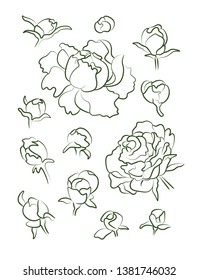 Peonies drawn thin contour on a white background. Large flower buds from lines drawn with a brush.