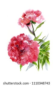Peonies, watercolor painting on white background.