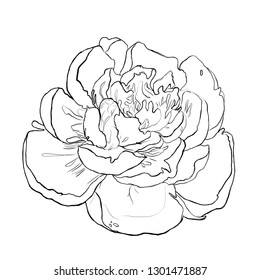 peony, peony contour, sketch, illustration on white background, hand drawn, for registration of cards, invitation, weddings