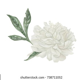 Peony illustration. Vintage monochrome peony. Retro flowers. isolated flower elements. Botanical illustration.