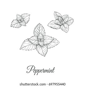 Peppermint Set. Collection of peppermint illustration. Peppermint skech