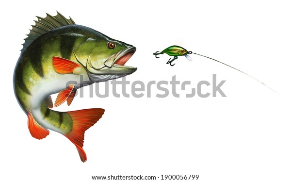 The Perch hunts for the golden green wobbler bait. Great northern yellow perch on the hunt illustration isolate realistic art.