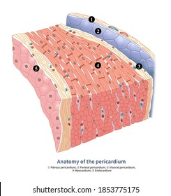 The pericardium is the connective tissue surrounding the heart, which can protect the heart and prevent the heart from over-diastole.