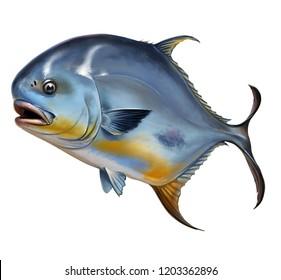 Permit fish Round pompano on white Trachinotus blochii.