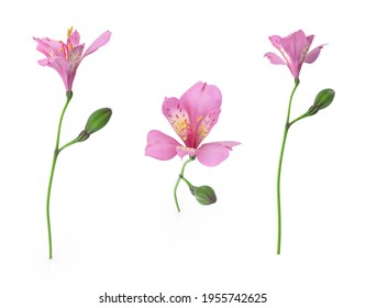 Peruvian lily Andean herb having umbels of showy pinkish-purple lily-like flowers. Isolated white background 3d illustration different angle view realistic set
