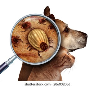Pet Tick as a group of dog and cat ticks in the fur as a close up magnification of a female parasite engorged with blood from the host as a veterinary health care symbol for disease insect pests.