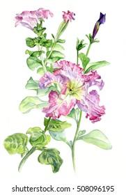 Petunia. Botanical watercolor illustration hand-drawing