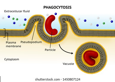 Phagocytosis. Cell eating. Phagocytosis involves the extension from the cell of large folds called pseudopodium that engulf particles and then internalize this material into cytoplasmatic vacuole
