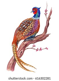Pheasant on an old flowering tree, watercolor illustration on a white background.