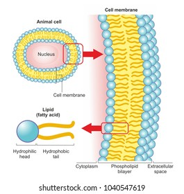 The phospholipid bilayer of an animal cell is a thin membrane made of two layers of lipid molecules. A phospholipid molecule consists of a hydrophobic fatty acid tail and a hydrophilic head.