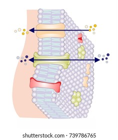The phospholipid bilayer is a thin polar membrane made of two layers of lipid molecules. Transmembrane proteins, channels and pumps, are embedded in the bilayer. No text in the picture.
