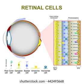 photoreceptor cells in the retina of the eye  rod cell and cone cell  the