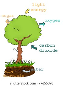 Photosynthesis explicative plan with text. Digital colors