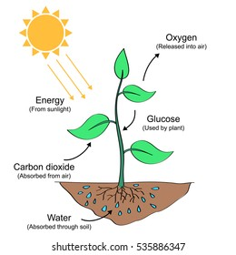 Photosynthesis process labelled illustration