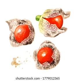 Physalis, Ashwagandha or Withania somnifera, Indian ginseng, poison gooseberry or winter cherry set. Hand drawn watercolor illustration  isolated on white background