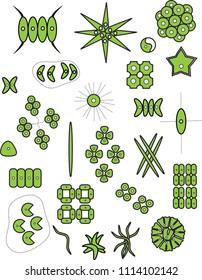 PHYTOPLANKTON - GREEN ALGAE - CHLOROPHYTA: SCENEDESMUS, DESMODESMUS, PEDIASTRUM, COELASTRUM, ANKISTRODESMUS, MONORAPHIDIUM, KIRCHNERIELLA
