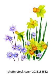 Picture of trumpet daffodills (yellow narcissi) and light-blue flowers (hepatic flowers) hand painted in watercolor. The symbol of spring and nature's awakening.