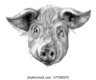 Pig`s head isolated on white background. Pencil drawing, monochrome image