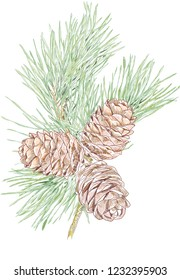pine cones, cedar, pine needle