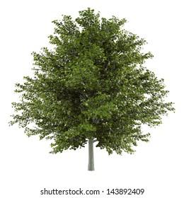 Pine tree isolated. Maple Acer rubrum